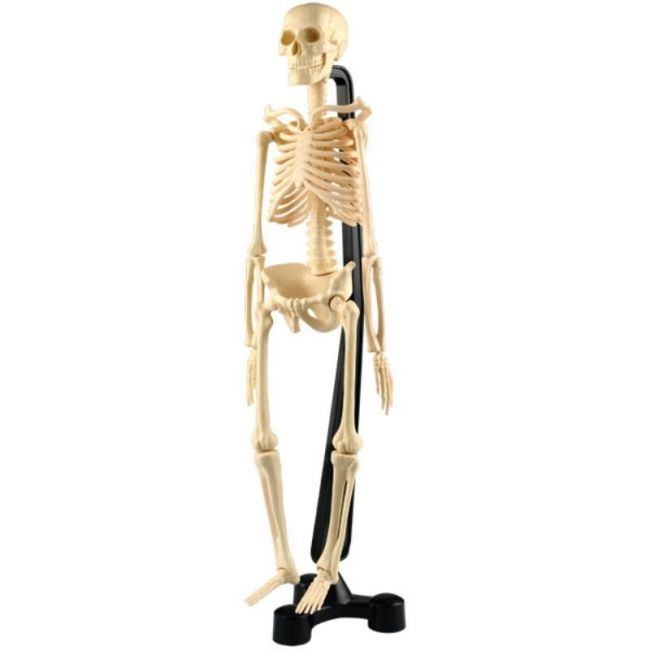 "Edu Toys DIY 46cm 18"" Skeleton Model"